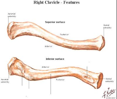 Anatomia Descriptiva: Clavícula
