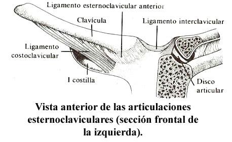 [esternoclavicular02.jpg]