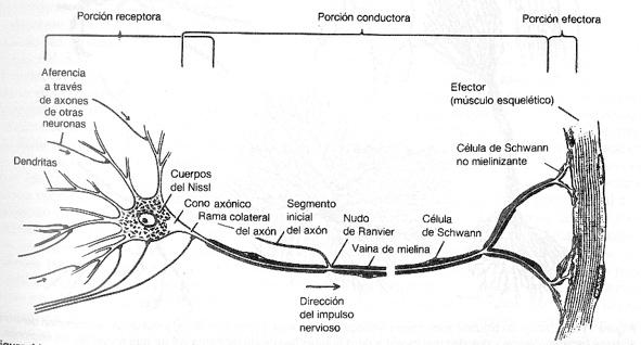 [3-Estructura_neurona.jpg]
