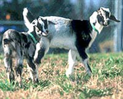 biosteel-goats