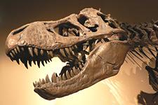 Tyrannosaurus Skeleton