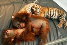 Sumatran tiger cubs and orangutan babies at Taman Safari Indonesia Animal Hospital