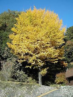 Ginkgo en otoño