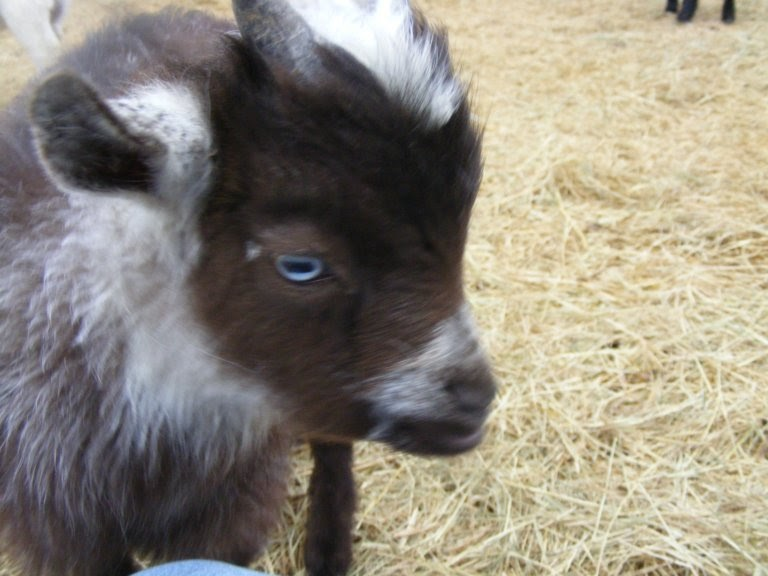 Goats For Sale Blue Eyed Nigerian Dwarfs