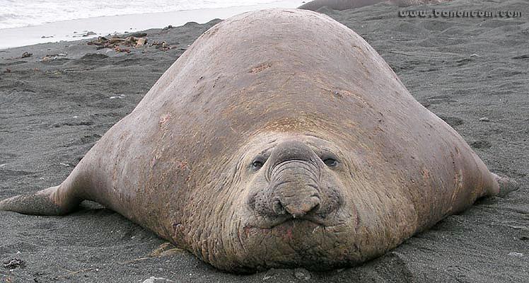 Blubber Fat 35
