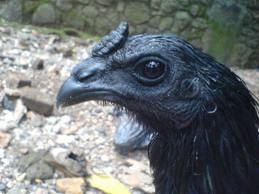 Chicken Cemani - black chicken / chicken selling cemani