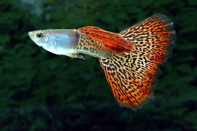 (Poecilia reticulata)   breeding freshwater fish aquarium fish