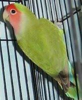 World S Animal Pictures Lovebird Muka Salem Agapornis Roseicollis