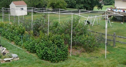 Kent S Blueberry Cage
