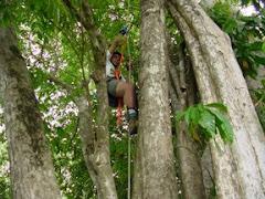 Resgate de Ninho de Abelhas Sem Ferrão na Aldeia Murutinga (Etnia Mura - Amazonas, Brasil)