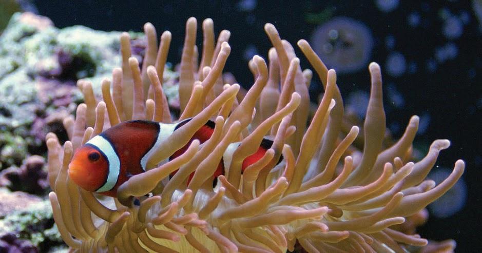 Pesce Pagliaccio E Anemone.Biosproject Earth Specie Animali E Cambiamenti Climatici Il Pesce Pagliaccio