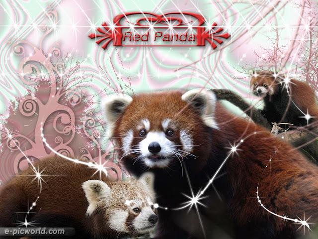 red panda wallpaper 1