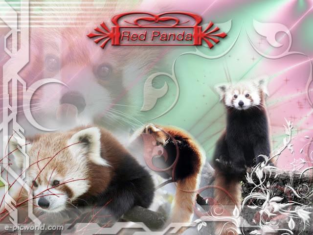 red panda wallpaper 2