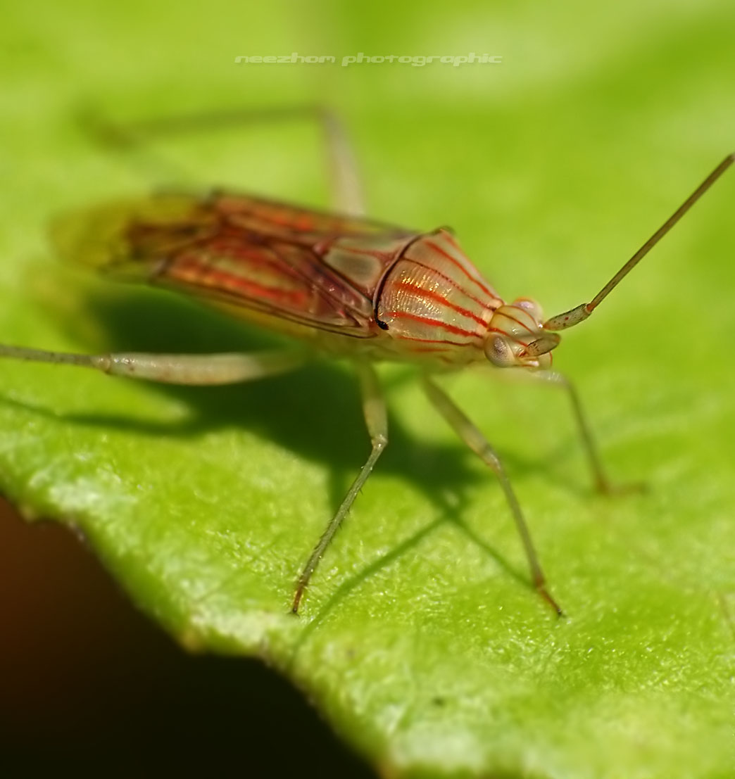 My Shield bug photo gallery - Neezhom Photomalaya