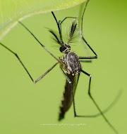 Koleksi Pilihan gambar Nyamuk oleh Neezhom