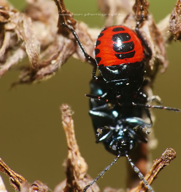 Red black Harlequin bug
