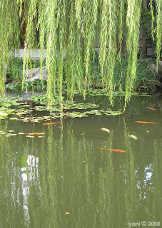 carp pond with willow