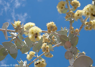 gum tree bee 2007
