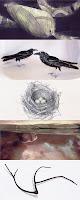 humpback at night, australian ravens, grey strike-thrush nest, ripple and native oppression