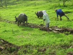 Biasong farmers plowing their field.