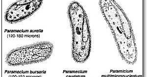North-Grand HS Biology Blog: Identifying microscopic organisms