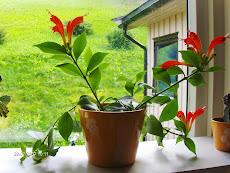 Blomstring i glaskarmen