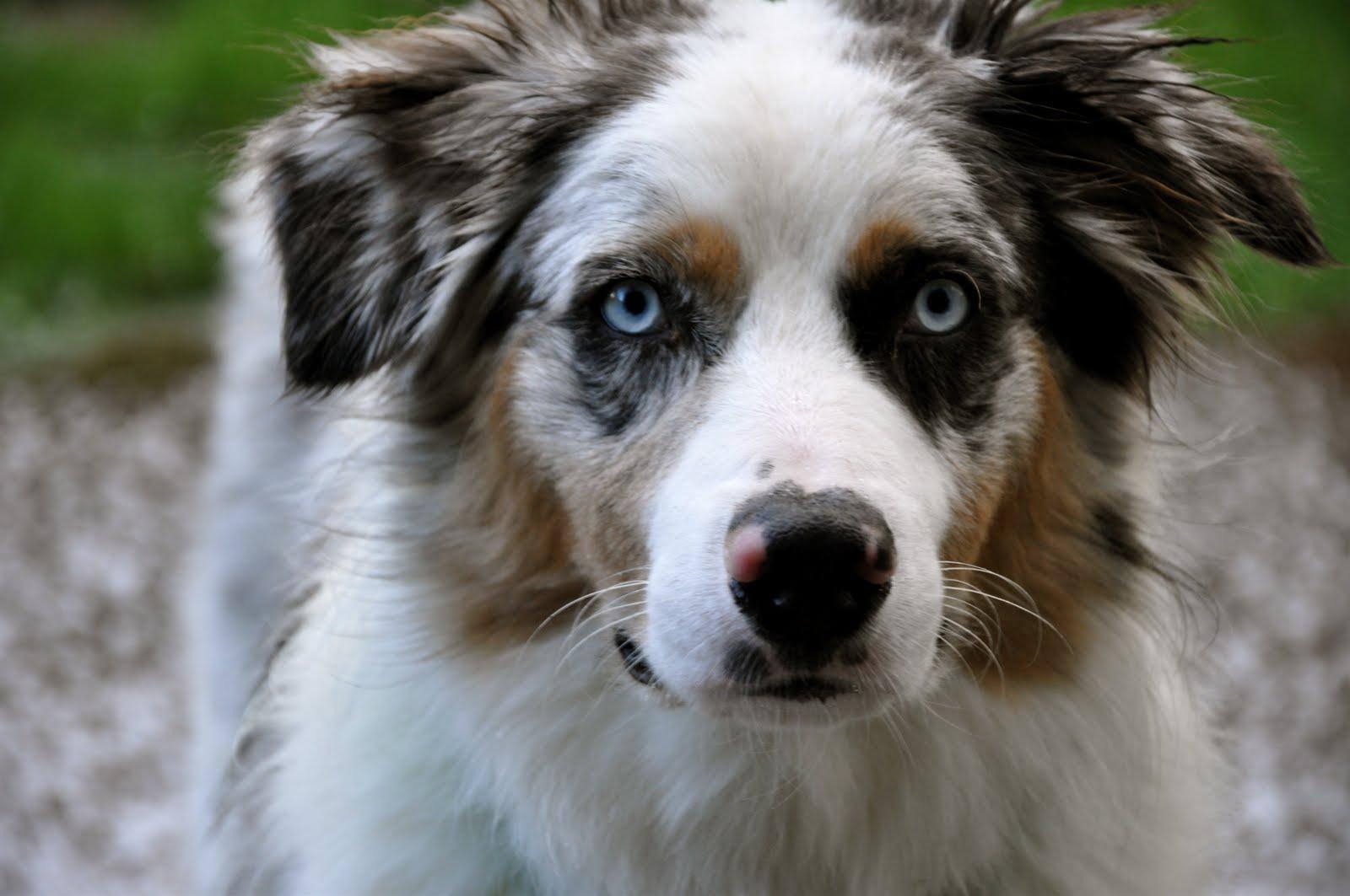 Louie Photography: Blue Merle Australian Shepherd - photo#16