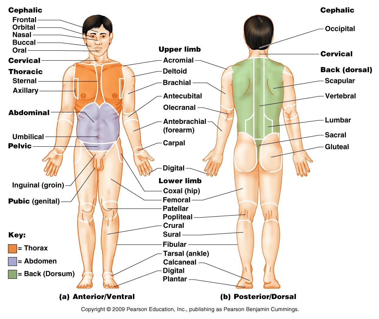 Body Regional Terms Worksheet