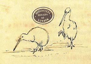 Dibujo del Kiwi por Darwin
