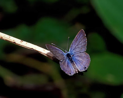 Miami Blue, Hemiargus thomasi, basking on twig (dorsal view of male) Photo by David L Lysinger