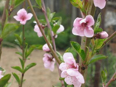 nectarin inflorit