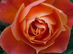 Una Rosa de Diciembre