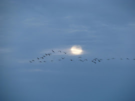 Sandhill Cranes & Moonlight