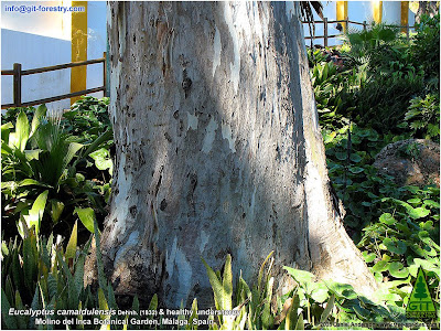 Giant Eucalyptus camaldulensis and understorey at Inca Botanical Garden, Malaga, Spain, by Dan Anderson, Exploring the World of Trees, a Tree Species Blog / Eucalipto rojo gigante y sotobosque en el Jardin Botanico Inca de Malaga, España, por Dan Anderson, Tree Species / Gustavo Iglesias Trabado / GIT Forestry Consulting, Consultoría y Servicios de Ingeniería Agroforestal, Lugo, Galicia, España, Spain / Eucalyptologics: Information Resources on Eucalyptus Cultivation Worldwide / Eucaliptologics: Recursos de Informacion sobre el Cultivo del Eucalipto en el Mundo
