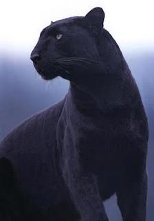 Eastern Cougar Sightings: Melanistic Cougars