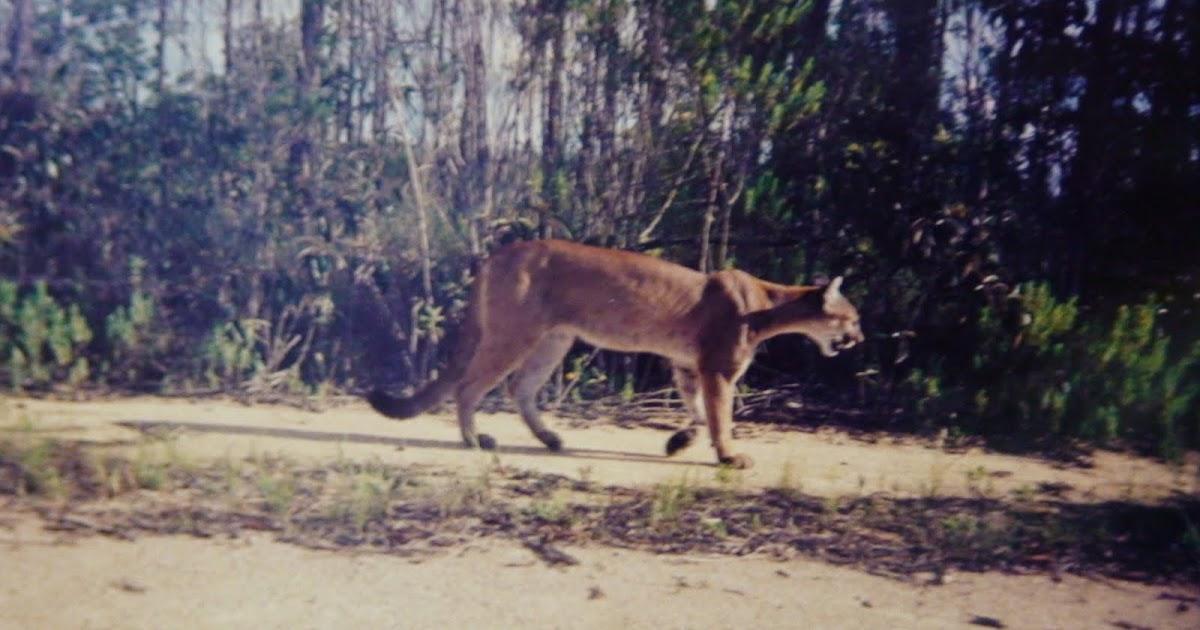 Eastern Cougar Sightings: Roadkill Cougar