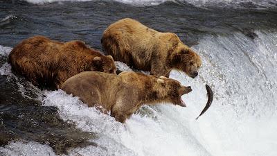 osos-pescando-salmon