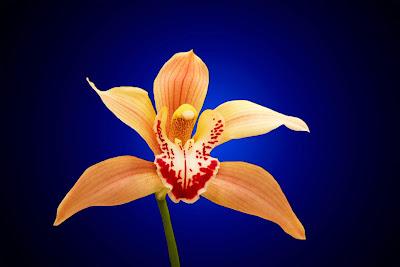 orquidea-en-tonos-naranja-y-burdeos