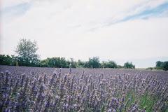 Lavender outside Apt