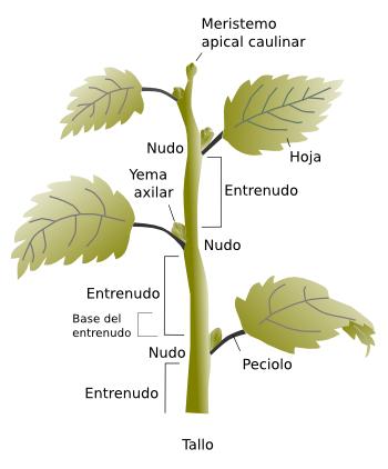 El universo de las plantas caracter sticas de las partes for Cuales son las partes de un arbol