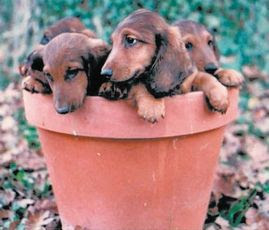 The Long And Short Of It All A Dachshund Dog News Magazine June 2008