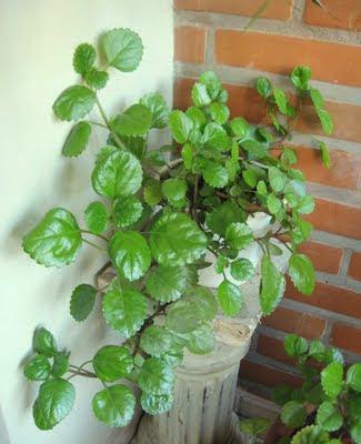 El blog de carmen 39 39 lengua de suegra 39 39 y 39 39 planta del for Plantas de interior lengua de gato