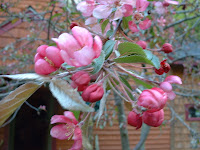 Pink-flowering crabapple, just coming into bloom, May 2005.