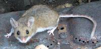Peromyscus maniculatus (Deer mouse, Vermont)