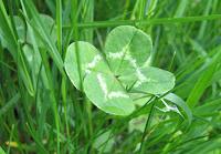 Four-leafed clover, Starksboro, Vermont