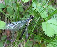 Dragonfly spp. - Starksboro, Vermont, June 2007