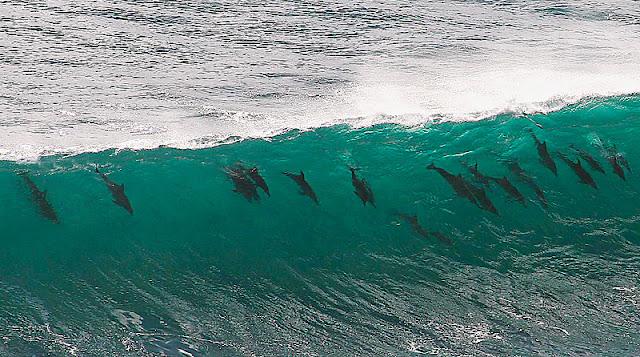 Delfines surfeando olas