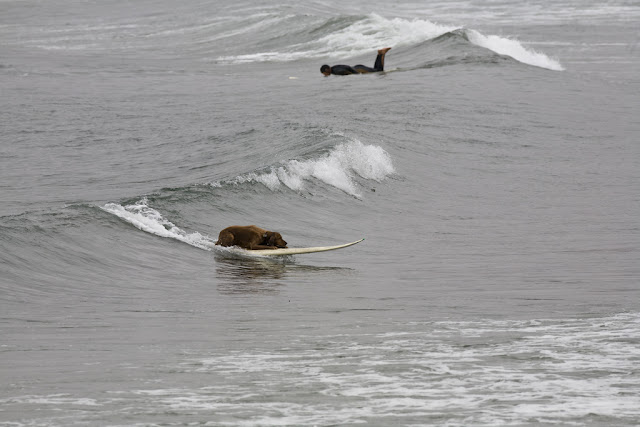 Perros surfistas - Dog surfers