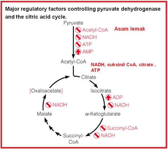Pengertian, Fungsi, dan Proses Siklus Krebs Terbaru