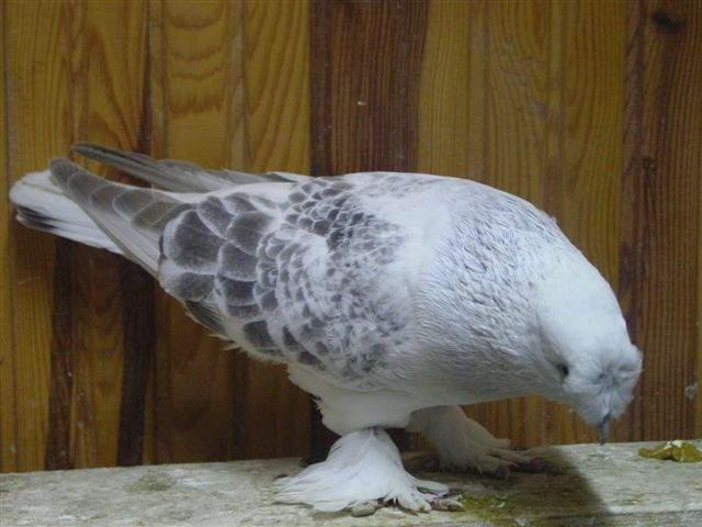 Güvercinler Ne Diye Bağırır 3